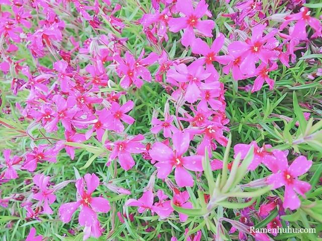 芝桜の小道(ヤマサ蒲鉾工場)2