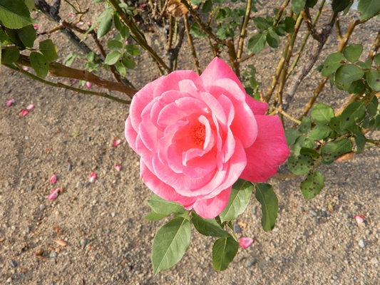 よしうみバラ公園 ピンクのバラ