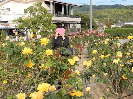 よしうみバラ公園 黄色のバラ