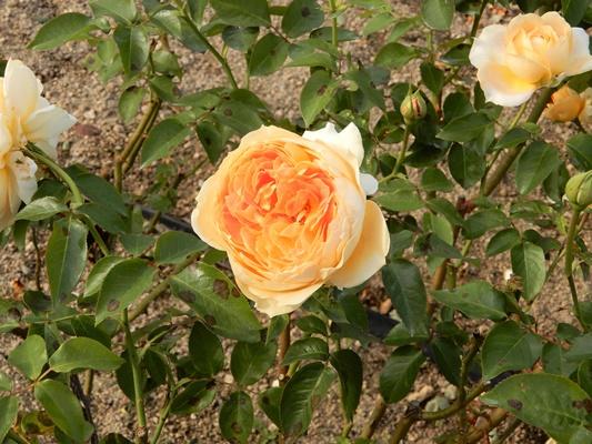 よしうみバラ公園 オレンジのバラ