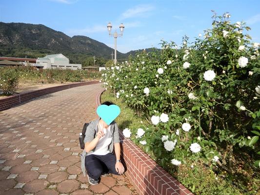 よしうみバラ公園 白いバラ