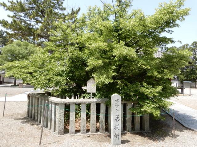鶴林寺 菩薩樹