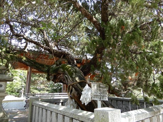 高砂神社 神木いぶき