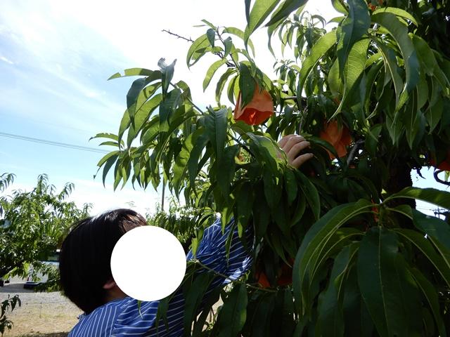 桃茂実苑観光農園 桃狩り